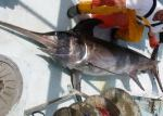 Swordfish (Xiphias Gladius). Photo Credit: world fishing.net