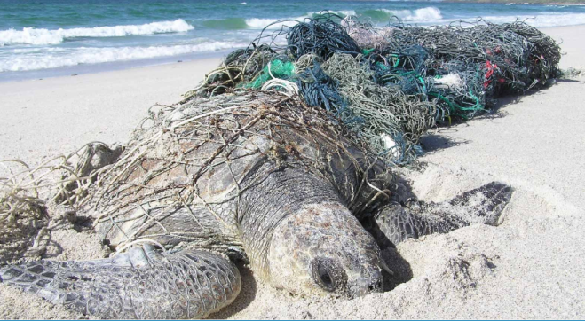 Turtle in ghost gear - Ghost Nets Australia